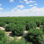 whole hemp farms fields
