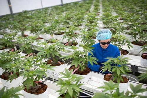cannabis-cultivation-will-be-a-race-