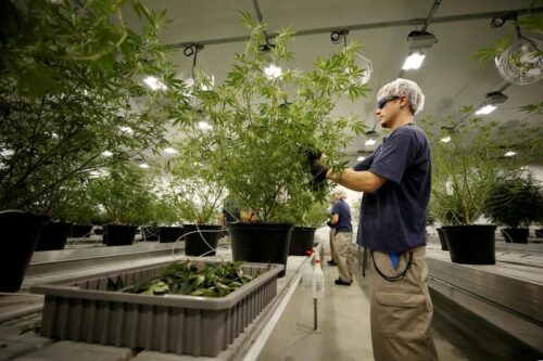 FILE PHOTO: A worker collects cuttings from a marijuana plant at the Canopy Growth Corporation facility in Smiths Falls