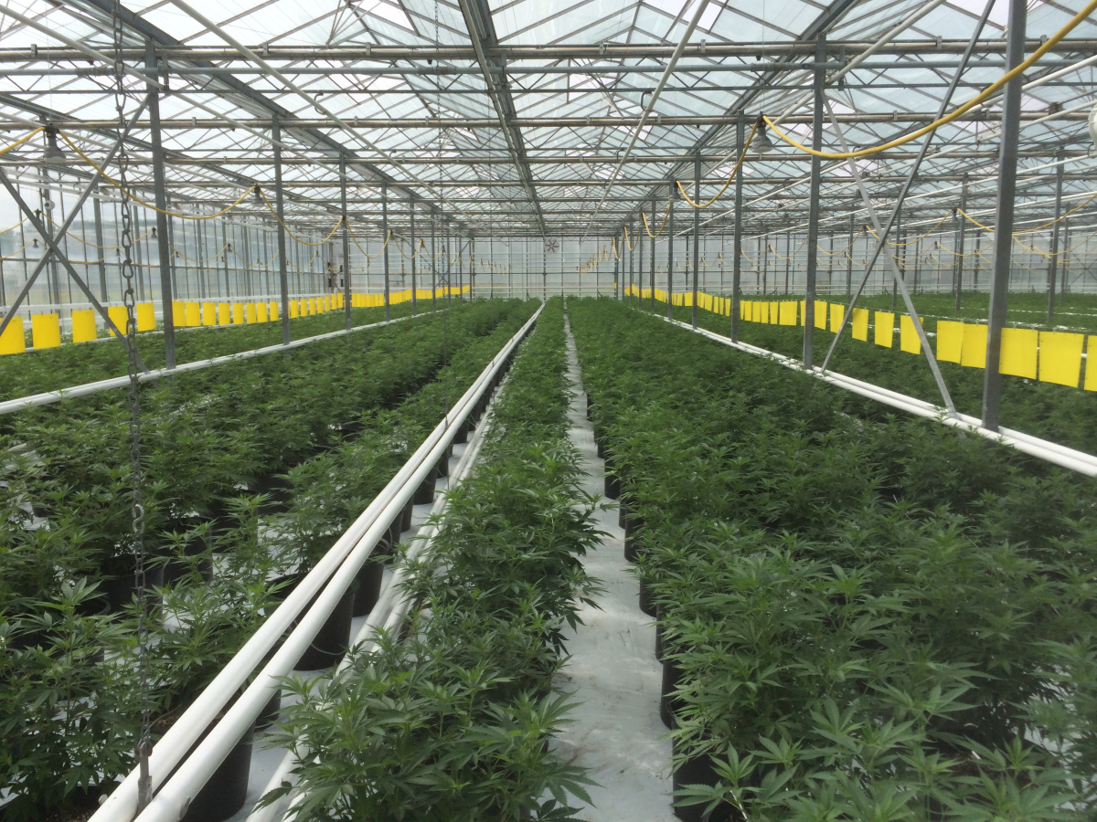 The Future of Cannabis Cultivation